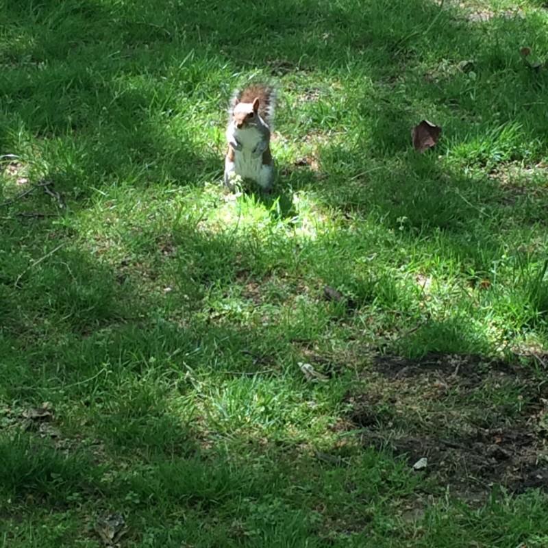 écureuil-hyde-park