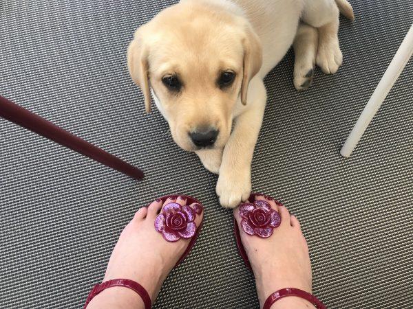 bébé labrador et chaussures