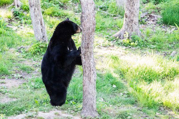 comment réagir face à un ours ?